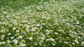 Lantligt landskap på en solig dag i sommar Kamomillfältslut upp mot blå tusensköna blommar skyyellow Härlig naturplats med blomma stock video