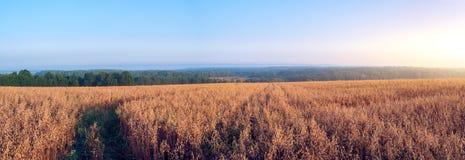 Lantligt landskap på gryning med havrefält Arkivfoto