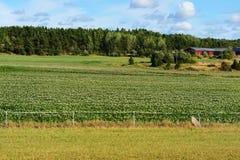 Lantligt landskap. Potatisfält Royaltyfria Foton
