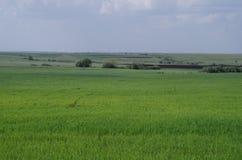Lantligt landskapfält med unga skördar Arkivfoto