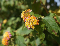 Lantrana camara blosssom. Beautiful  bloom of Lantana camara plant Royalty Free Stock Photography