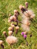 Lanugine del cardo selvatico di campo dopo la fioritura fotografie stock libere da diritti