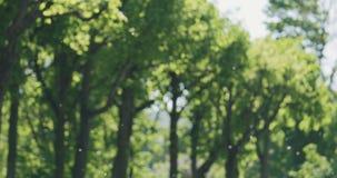 Lanugine del pioppo che galleggia in aria davanti agli alberi immagini stock