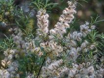 Lanugine del pioppo sui rami di una foresta della pianta in primavera immagini stock