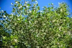 Lanugine del pioppo sul ramo fra erba verde Lanugine bianca dagli alberi di pioppo, sintomi di allergie fotografia stock libera da diritti