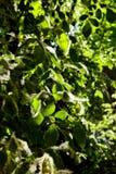 Lanugine del pioppo sulle foglie verdi di un albero un giorno soleggiato nell'ambito dei raggi della fine leggera su Allergia di  fotografia stock