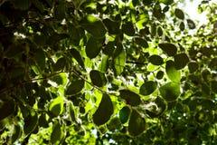 Lanugine del pioppo sulle foglie verdi di un albero un giorno soleggiato nell'ambito dei raggi della fine leggera su Allergia di  fotografia stock libera da diritti