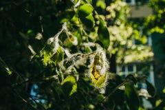 Lanugine del pioppo sulle foglie verdi di un albero un giorno soleggiato nell'ambito dei raggi della fine leggera su Allergia di  immagini stock