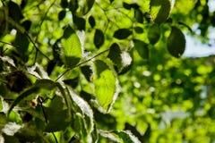 Lanugine del pioppo sulle foglie verdi di un albero un giorno soleggiato nell'ambito dei raggi della fine leggera su Allergia di  immagine stock
