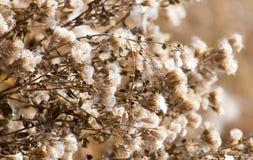 Lanugine sulla pianta all'aperto in autunno fotografia stock