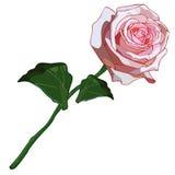 Lanuginoso rosa di Rose Gentle illustrazione di stock