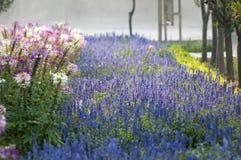 Lanvender Stock Photos