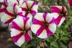 Lanzamiento ascendente cercano de la flor del amore de la petunia imagen de archivo