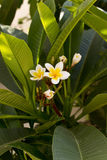 Lanzamiento ascendente del cierre del árbol de la flor del Plumeria en la isla de Kos, Grecia fotografía de archivo libre de regalías