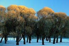 Lanzamiento brillantemente coloreado de Willow Tree Foto de archivo libre de regalías