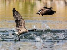 Lanzamiento canadiense del ganso Fotos de archivo