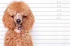 Lanzamiento de la cabeza de perro Fotos de archivo