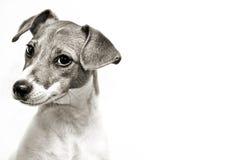 Lanzamiento de la cabeza de perro Imagen de archivo