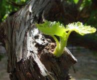 Lanzamiento de la vid de uva Fotografía de archivo
