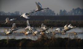 Lanzamiento de los cisnes Fotografía de archivo
