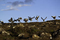 Lanzamiento de los gansos Imagenes de archivo