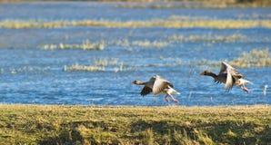 Lanzamiento de los gansos de ganso silvestre fotos de archivo libres de regalías