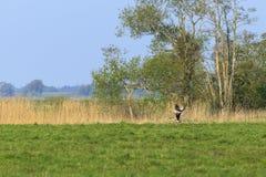 Lanzamiento de los gansos de ganso silvestre Imagenes de archivo