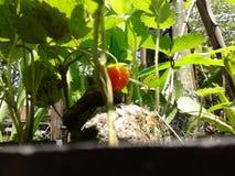 Lanzamiento de Strowberry Imagenes de archivo