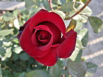 Lanzamiento del cierre de la rosa del rojo imagen de archivo libre de regalías