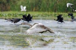 Lanzamiento del cisne Imagen de archivo