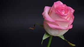 Lanzamiento del primer de la rosa rosada hermosa con gotas de lluvia en sus pétalos con el fondo aislado en oscuridad metrajes
