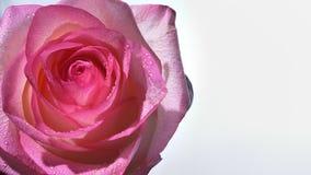 Lanzamiento del primer de la rosa rosada imponente con las gotas de agua en sus pétalos con el fondo aislado en blanco metrajes