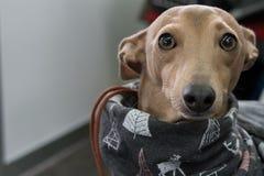 Lanzamiento del primer de un perro del galgo italiano Fotos de archivo