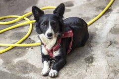 Lanzamiento delantero del pequeño perro negro del corgi en el tiempo hermoso de la tarde imagen de archivo