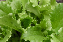 Lanzamiento macro de la hoja verde fresca de la lechuga Imagen de archivo