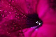 Lanzamiento macro del hybrida rojo de la petunia de la petunia Fotografía de archivo