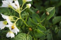 Lanzamiento macro del insecto de patata en la hoja imagenes de archivo