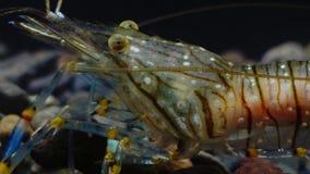 Lanzamiento macro Nutrición de los elegans del Palaemon de la gamba El Mar Negro ucrania almacen de metraje de vídeo