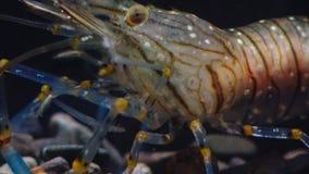 Lanzamiento macro Nutrición de los elegans del Palaemon de la gamba El Mar Negro ucrania almacen de video