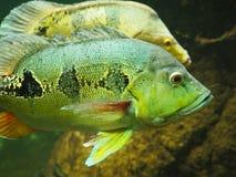 Lanzamiento subacuático de un pescado divertido con la boca abierta que multa en agua clara azul fotografía de archivo libre de regalías