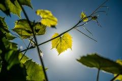 Lanzamiento verde fresco de la vid sobre el cielo azul imagenes de archivo