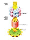 Lanzamiento y función de la insulina ilustración del vector