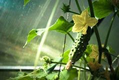 Lanzamientos de florecimiento del pepino y del pequeño pepino en el greenhous Imágenes de archivo libres de regalías