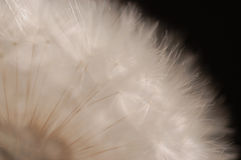 Lanzamientos del diente de león Fotos de archivo