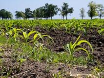 Lanzamientos del maíz Fotografía de archivo libre de regalías