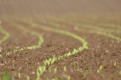 Lanzamientos del maíz Imagen de archivo
