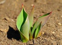 Lanzamientos del verde de los tulipanes de la primavera Foto de archivo