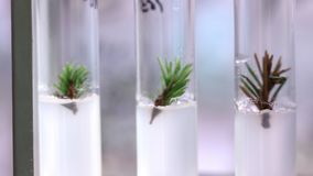 Lanzamientos jovenes de árboles coníferos en réplicas Cultura de tejido vegetal en laboratorio de biología almacen de metraje de vídeo