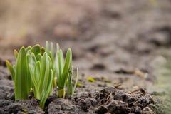 Lanzamientos jovenes de la flor, la primera planta de la primavera en jardín debajo del sol caliente de la primavera fotos de archivo