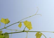 Lanzamientos jovenes de uvas en un fondo del cielo azul Foto de archivo